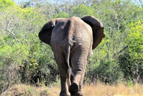 Elephant in a Game Reserve in Africa