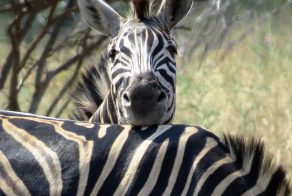 Zebras spotted on a Safari in Africa